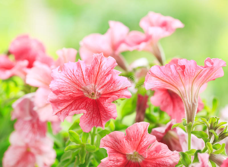 Download Fiori Della Petunia In Un Giardino Fotografia Stock - Immagine di rosso, fiore: 56875972