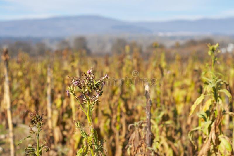 Fiori della pianta di tabacco immagine stock