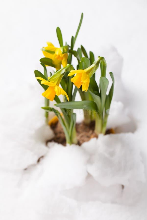 Fiori della primavera che attraversano la neve immagini stock