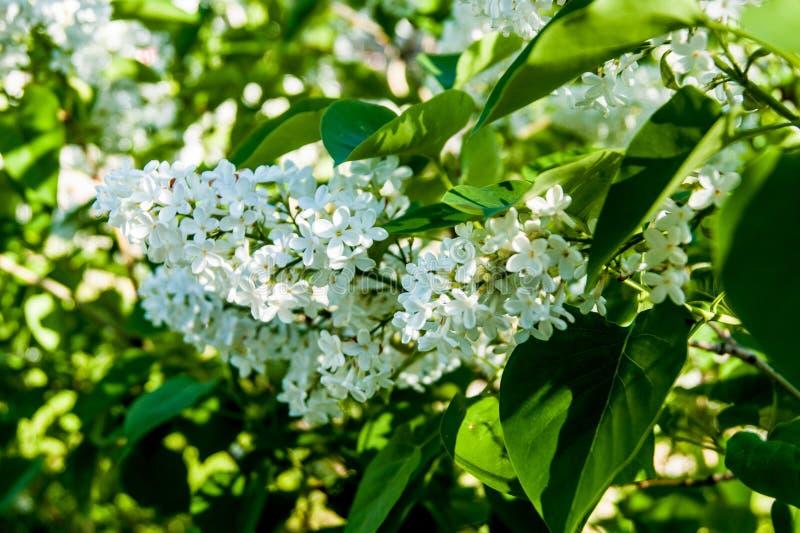 Fiori della primavera - un ramo del lillà sbocciante bianco contro lo sfondo di fogliame verde fotografia stock libera da diritti