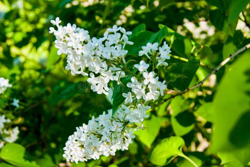Fiori della primavera - un ramo del lillà sbocciante bianco contro lo sfondo di fogliame verde fotografie stock