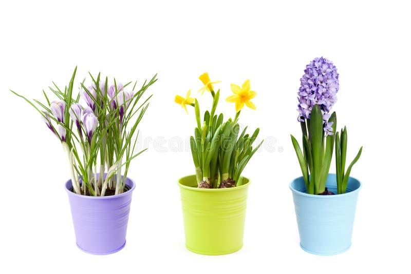 Fiori della primavera in vasi fotografia stock