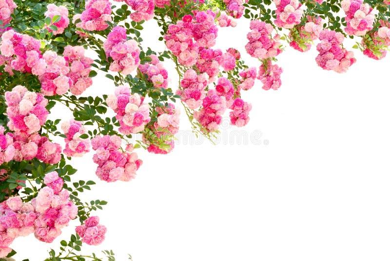 Fiori della Rosa isolati su priorità bassa bianca fotografia stock