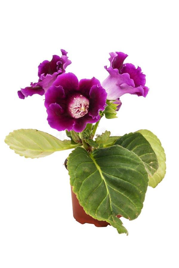 Fiori della sinningia viola di gloxinia in un vaso marrone isolato sul primo piano bianco del fondo fotografie stock