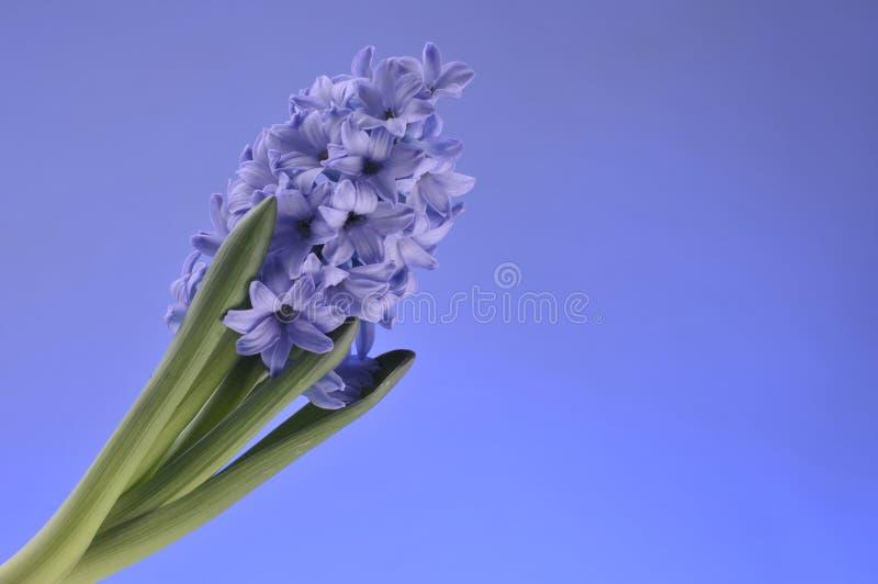 Fiori della sorgente del giacinto su priorità bassa blu fotografia stock libera da diritti
