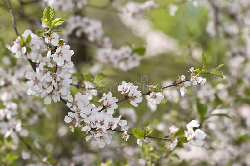 Fiori della sorgente di Sakura fotografia stock libera da diritti