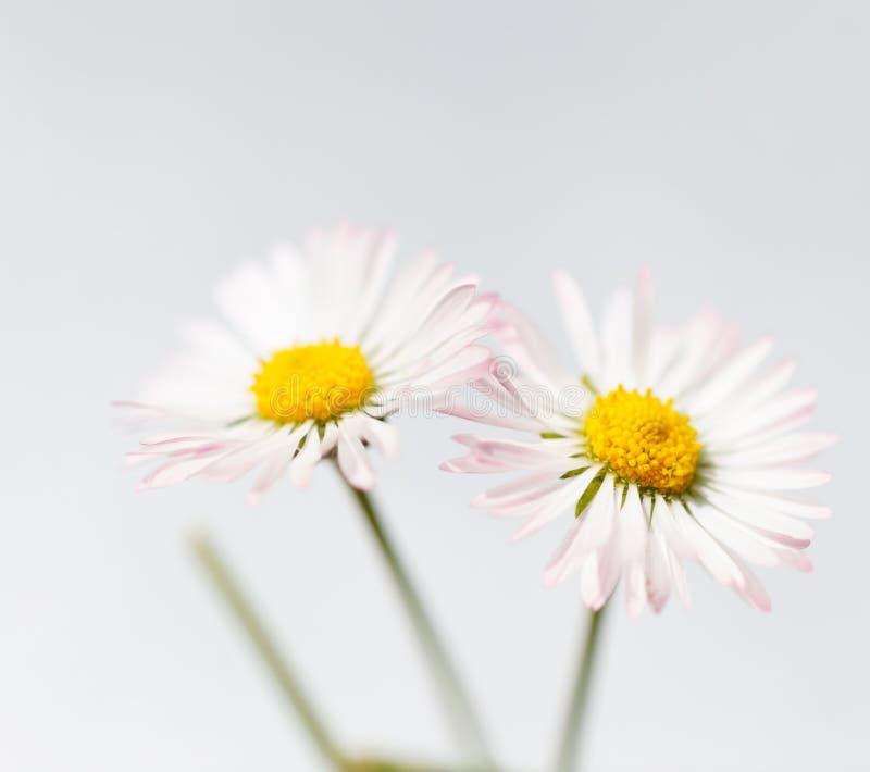 Fiori della sorgente, pratoline bianche fotografia stock