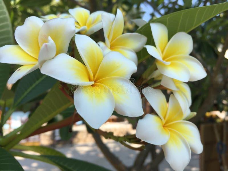 Fiori della Tailandia, fiore di Leelawadee Tempel fotografia stock libera da diritti