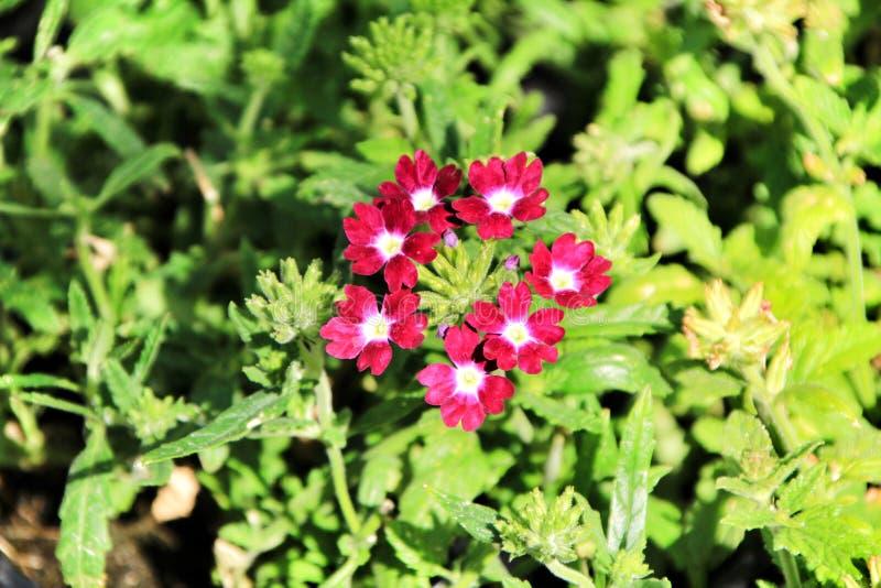 Fiori della verbena nel giardino fotografia stock libera da diritti
