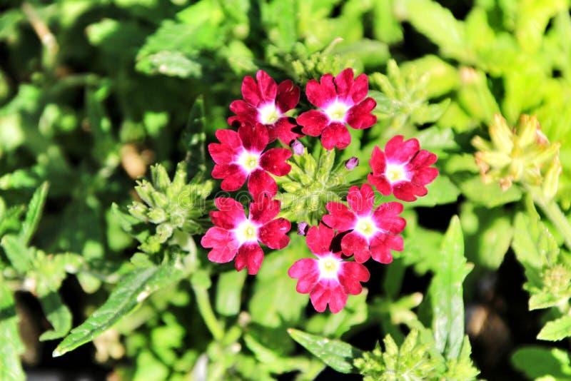 Fiori della verbena nel giardino fotografia stock
