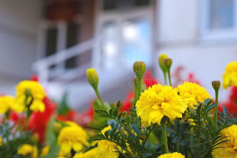 Fiori della via sul letto di fiore davanti all'edificio per uffici, giallo immagine stock
