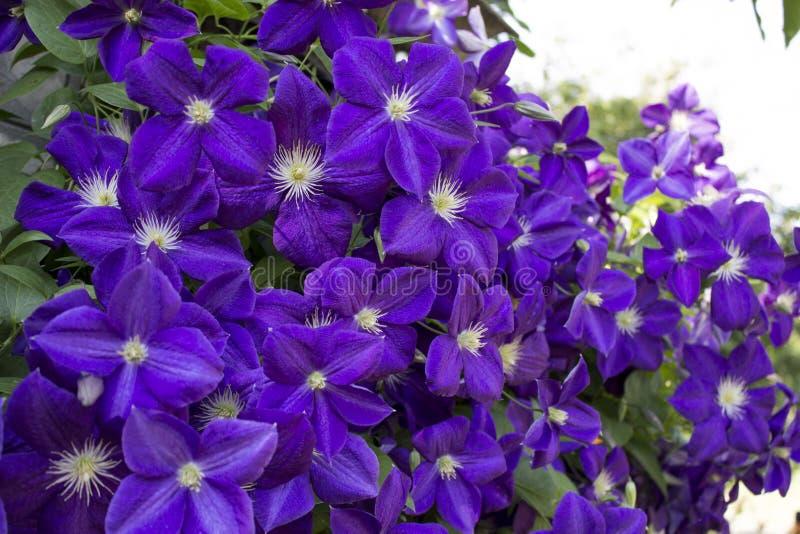 Fiori della viola della clematide immagini stock