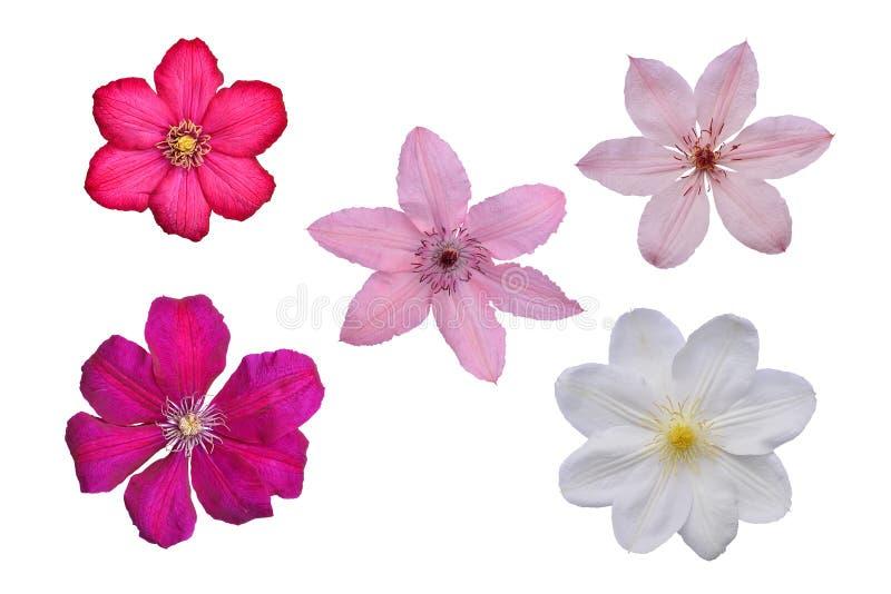 Fiori delle clematidi bianche, rosa, lilla e viola su backg bianco fotografia stock