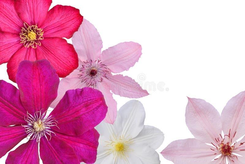 Fiori delle clematidi bianche, rosa, lilla e viola su backg bianco fotografie stock libere da diritti