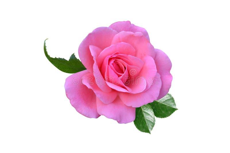 Fiori delle rose è isolata fotografia stock