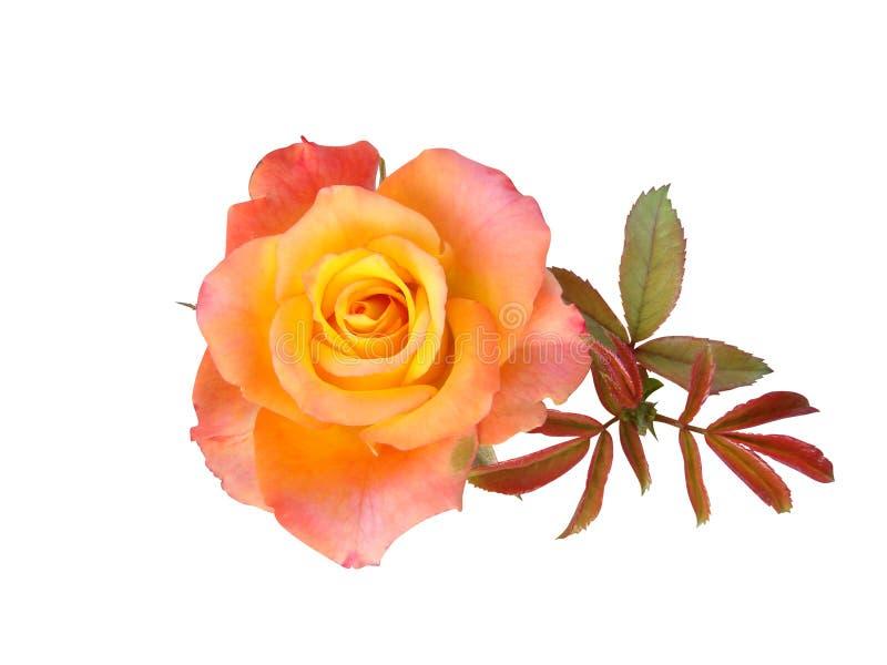 Fiori delle rose è isolato immagini stock libere da diritti