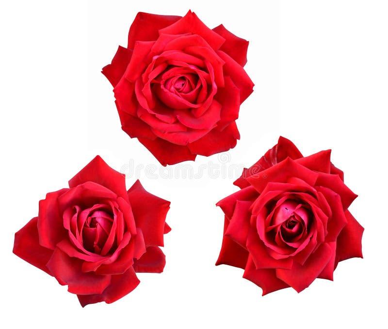 Fiori delle rose fotografie stock