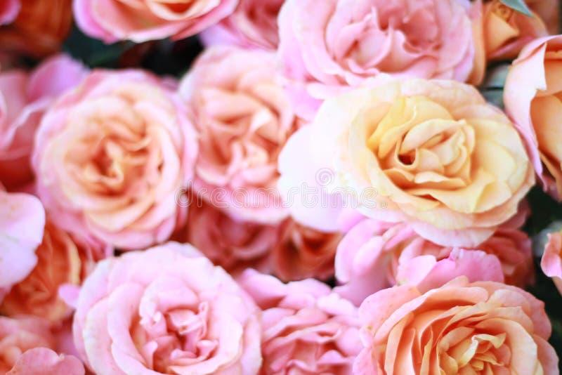 Fiori delle rose della pesca fotografia stock