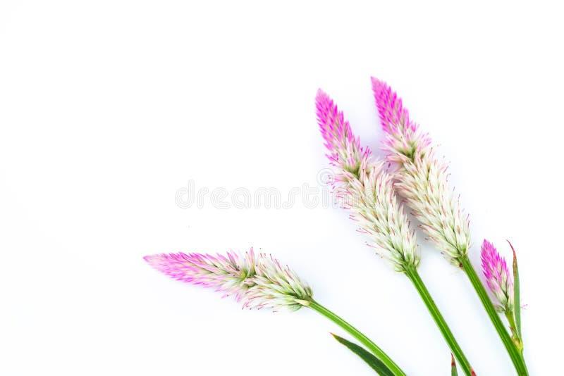 Fiori delle viole di vista superiore su fondo bianco immagini stock