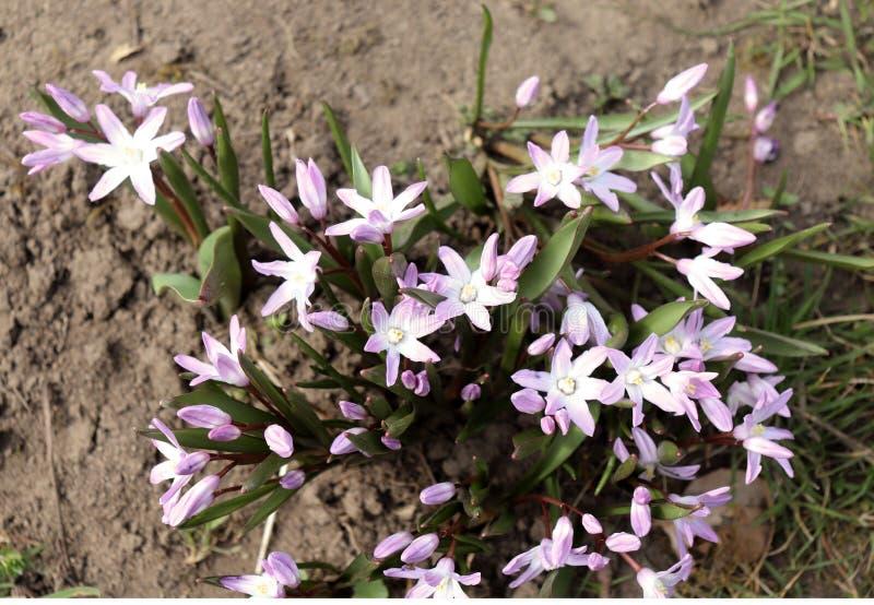 Fiori dello Scilla che fiorisce ad aprile Fiore luminoso della molla del primo piano in un giardino della molla, macro colpo di S fotografia stock libera da diritti