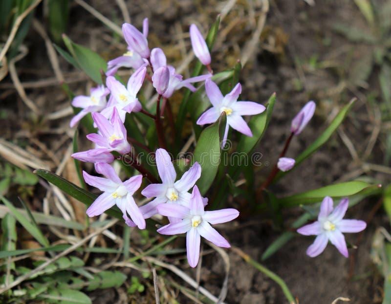 Fiori dello Scilla che fiorisce ad aprile Fiore luminoso della molla del primo piano in un giardino della molla, macro colpo di S fotografia stock