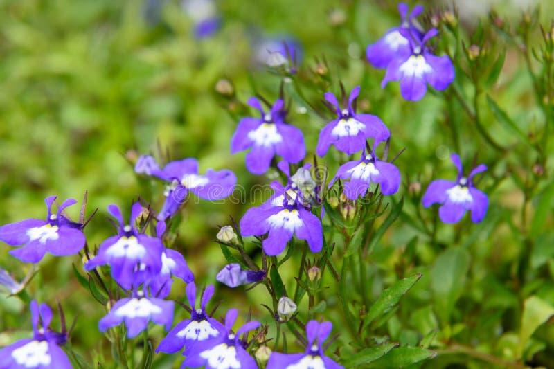 Fiori dello zaffiro di Lobelia o di Violet Lobelia Erinus fotografie stock libere da diritti