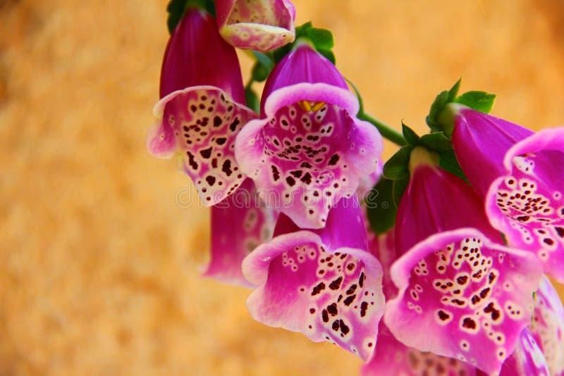 Fiori dentellare del Foxglove fotografie stock