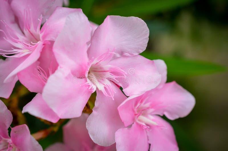 Fiori dentellare del rododendro immagine stock