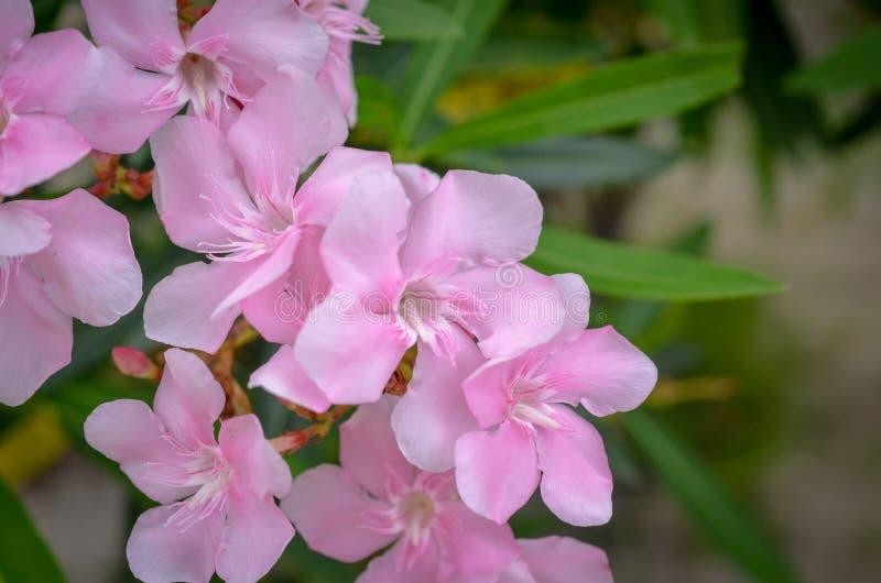 Fiori dentellare del rododendro fotografie stock libere da diritti