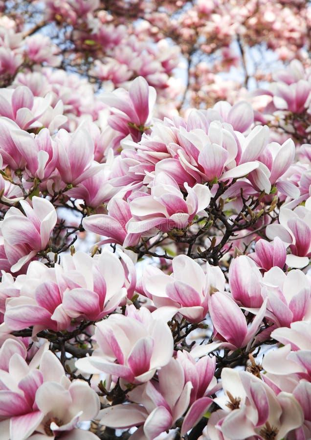 Fiori dentellare della magnolia immagine stock