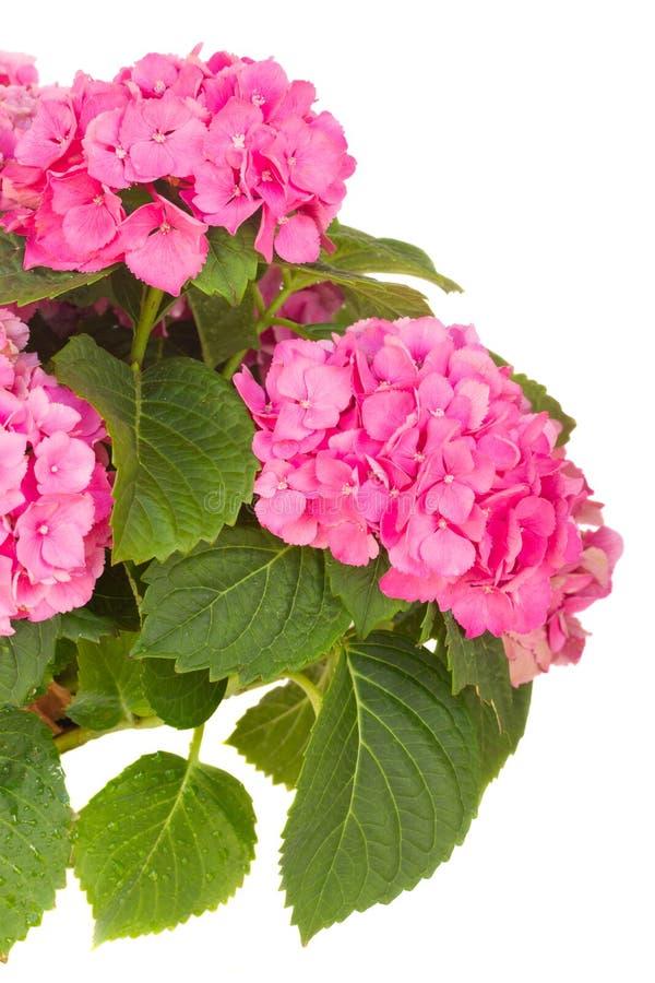 Download Fiori Dentellare Di Hortensia Fotografia Stock - Immagine di hortensia, bello: 56888388