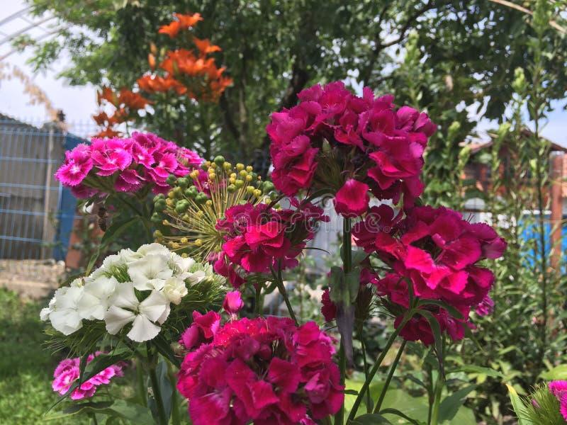 fiori dentellare in giardino fotografia stock