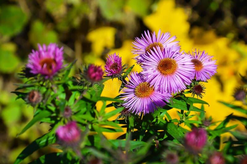 Fiori di autunno nel giardino immagini stock