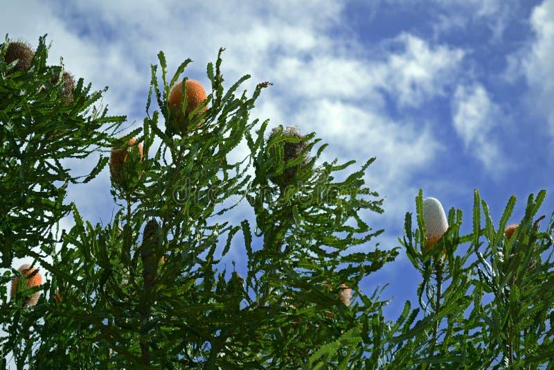 Fiori di Banksia immagini stock