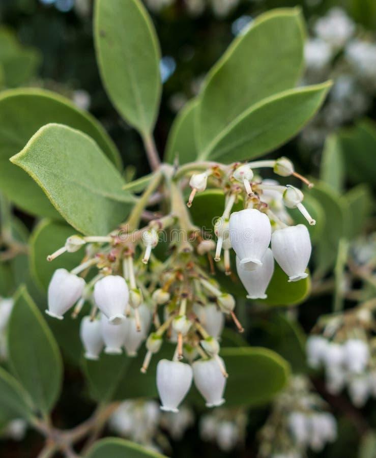 Fiori di Bigberry Manzanita fotografia stock