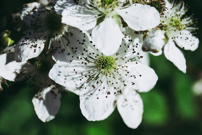Fiori di Blackberry in fioritura Fondo immagine stock