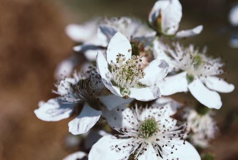 Fiori di Blackberry in fioritura Fondo fotografia stock