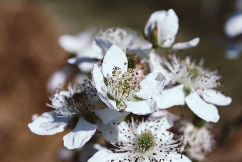 Fiori di Blackberry in fioritura Fondo immagini stock libere da diritti