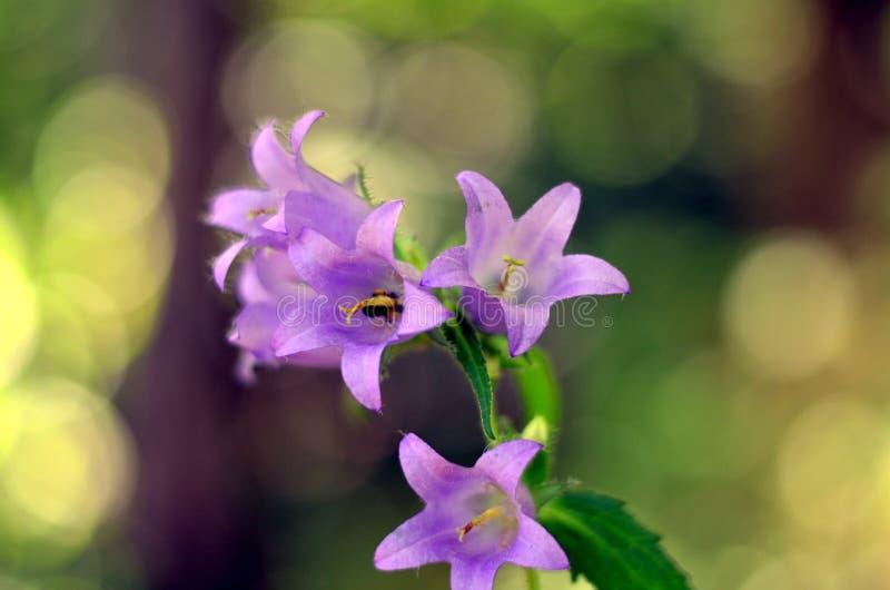 Fiori di Bluebell dei fiori di estate immagine stock