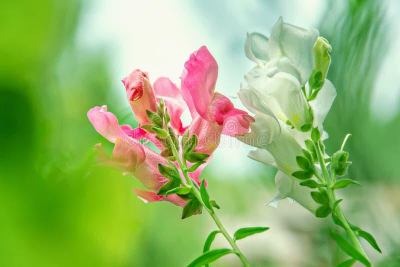 Fiori di bocca di leone che fioriscono nel giardino Giorno pieno di sole fotografia stock