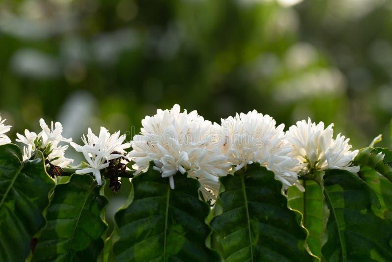 Fiori di caffè fioriscono sulla vista di chiusura dell'albero del caffè fotografia stock libera da diritti