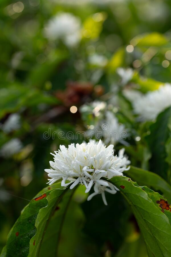Fiori di caffè fioriscono sulla vista di chiusura dell'albero del caffè fotografia stock
