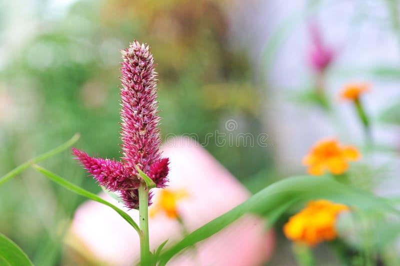 Fiori di Celosia con luce naturale su estate fotografia stock libera da diritti