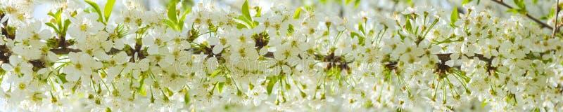 Fiori di ciliegia bianchi nel sole di primavera con cielo blu fotografia stock