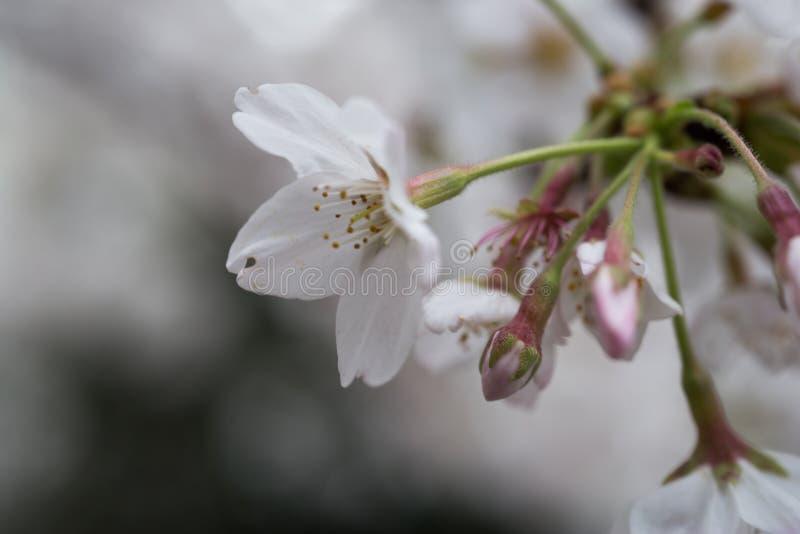fiori di ciliegia a Chiba fotografie stock