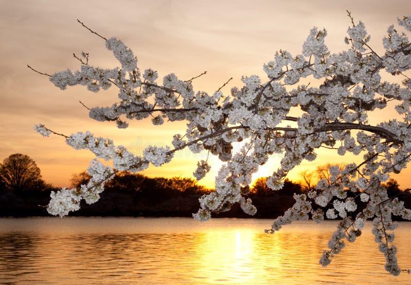 Fiori di ciliegia contro il tramonto immagini stock libere da diritti