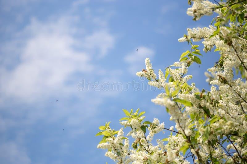 Fiori di ciliegia dell'uccello contro il cielo blu Fondo fotografie stock