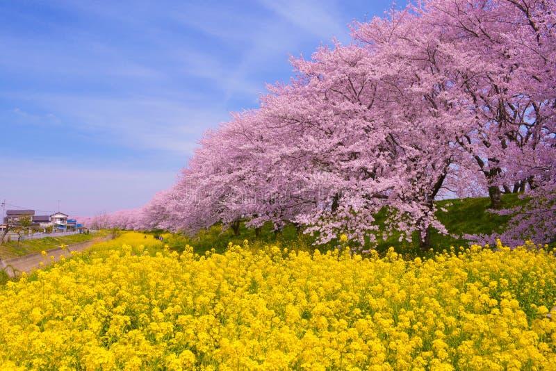 Fiori di ciliegia e del seme di ravizzone fotografie stock libere da diritti