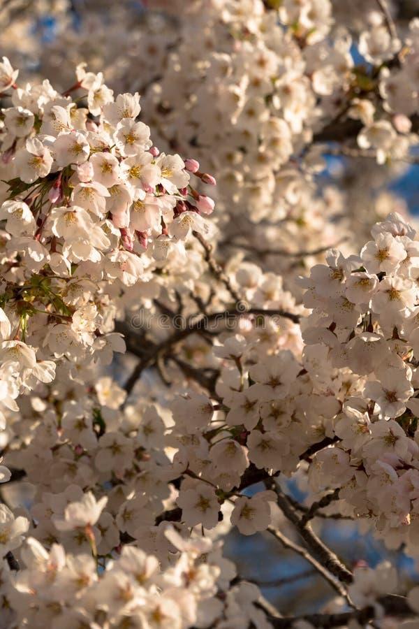 Fiori di ciliegia nella fase iniziale una mattina dello sprintime fotografia stock