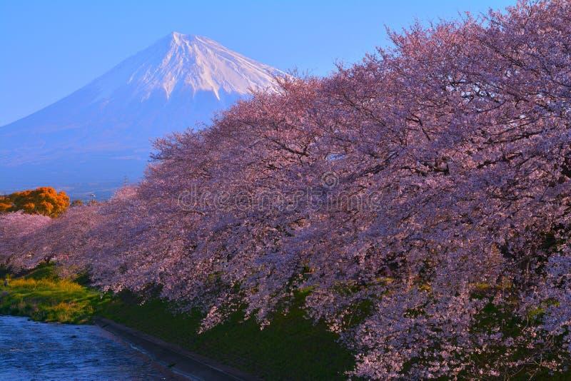Fiori di ciliegia nella piena fioritura ed in Mt Fuji nella città Giappone di Fuji immagini stock libere da diritti